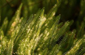 close up of hupezia serrata or Huperzine-A