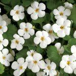 Bacopa Monnieri flowers