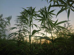 Hemp fields; raw source for CBD