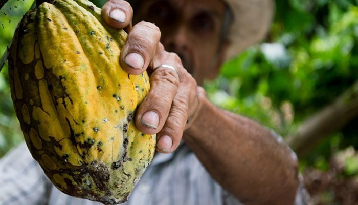 man holding a raw cocoa fruit