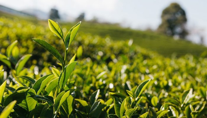 fields of green tea with a stem in front