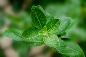 Picture of green leafs of Aswagandha plant