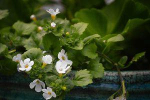 Close upa of the Bacopa Monnieri flowers