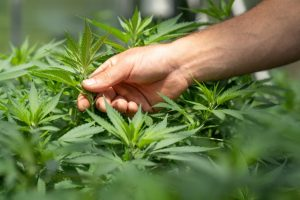 Cannabis plants for cannabidiol (CBD)