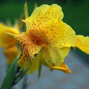 Close up of Kanna flower