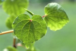 Picture of Kava Kava leaves