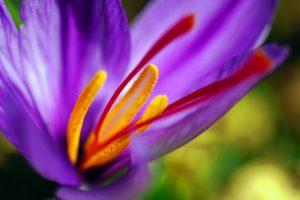Close up of Saffron flowe