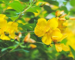 Picture of Yellow flowers of St. John's Wort plant
