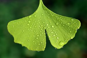 picture of a leaf of Ginkgo Biloba
