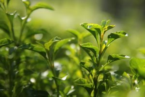 pictures of green tea