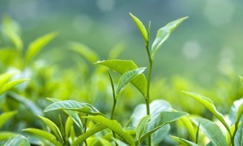Close up fresh tea leaves in morning sunlight